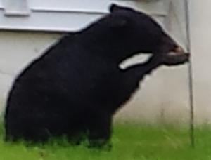 bear-eating